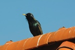 starling (Sturnus vulgaris)